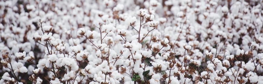 Cotton in a white field
